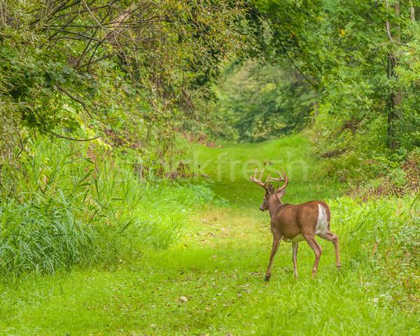 鹿 バック を実行して 自然 歩道 動物 ストックフォト © brm1949