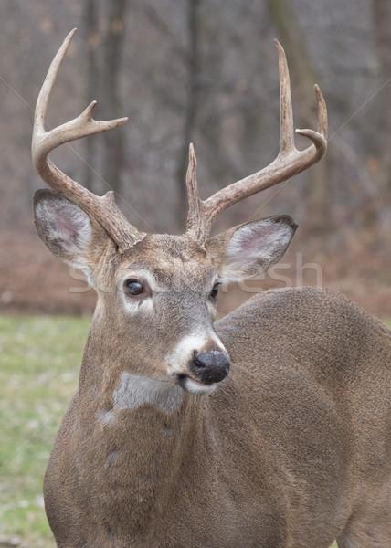 Veado pinote cabeça tiro animal Foto stock © brm1949