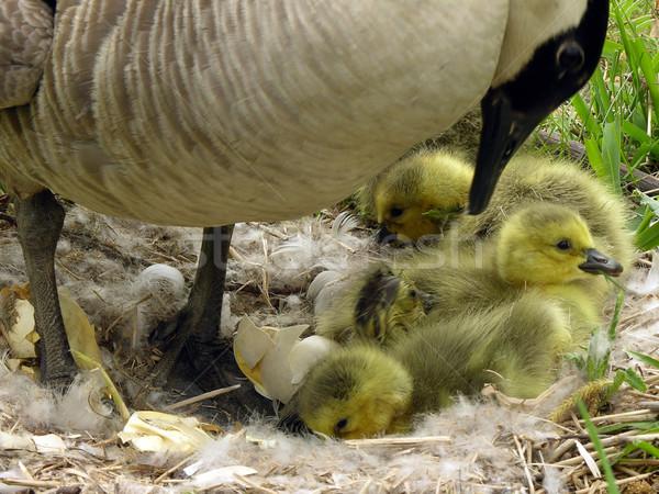 Canada Goose (Branta canadensis) Stock photo © brm1949