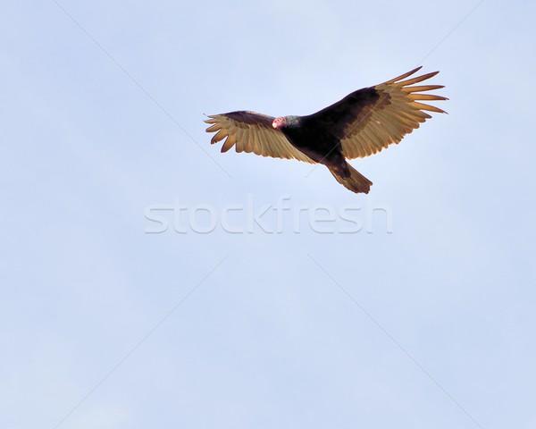 Turkije gier vlucht naar buit natuur Stockfoto © brm1949