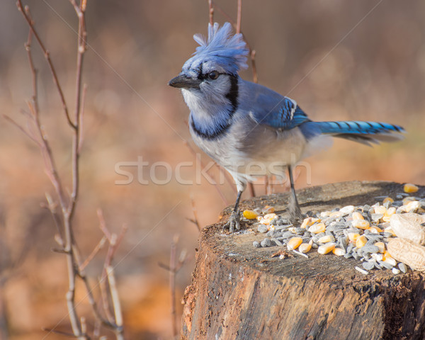Blue Jay Perched Stock photo © brm1949