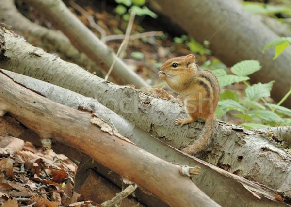 Chipmunk oriental natureza mata ramo Foto stock © brm1949