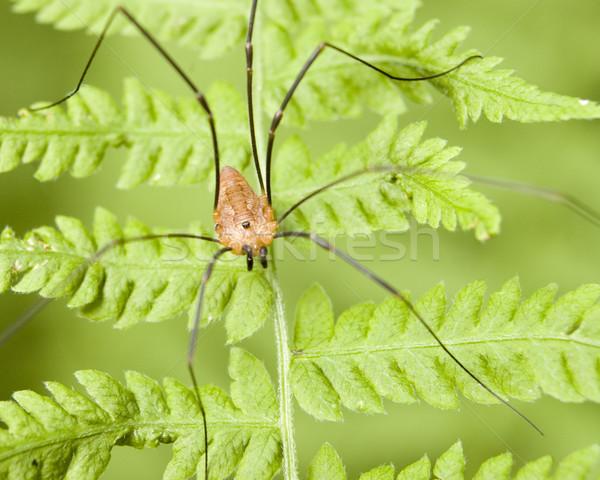Daddy spider natura bug Foto d'archivio © brm1949
