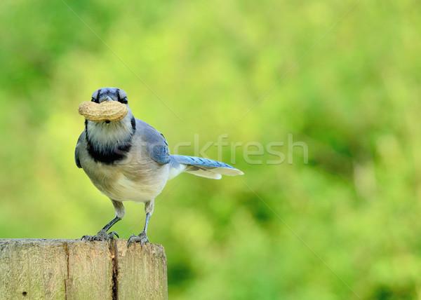 Stock photo: Blue Jay