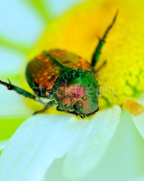 Japanese Beetle Stock photo © brm1949