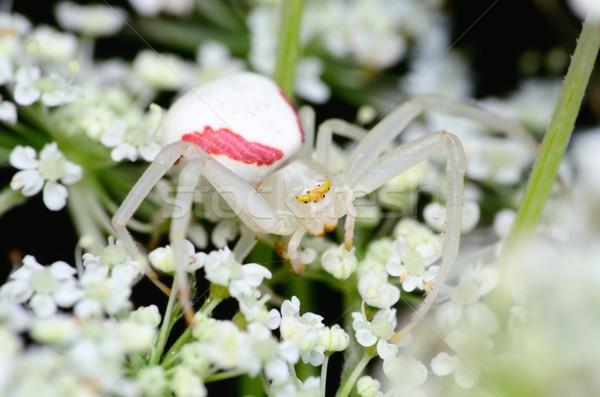 Krab spin bloem wachten buit natuur Stockfoto © brm1949