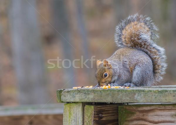 Szürke mókus kerítés madár magok erdő Stock fotó © brm1949