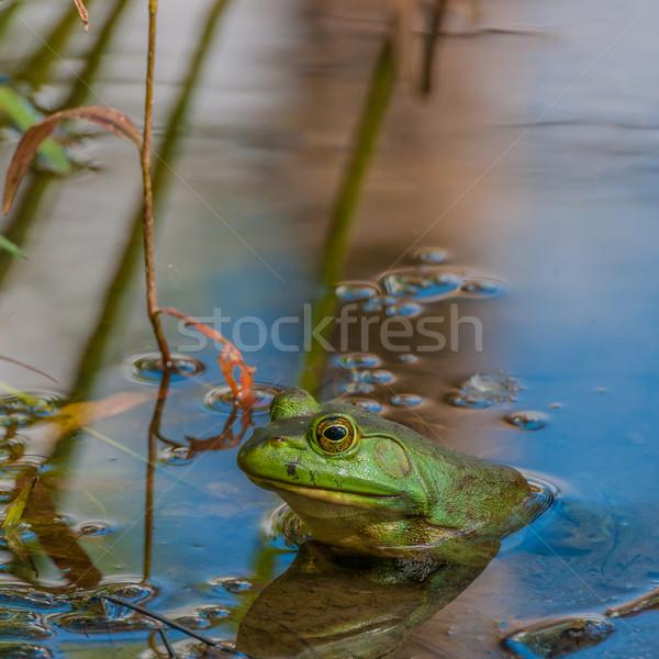 Stockfoto: Vergadering · moeras · wachten · buit · kikker · dier