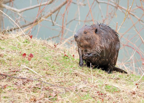Castor em pé lado lagoa Foto stock © brm1949