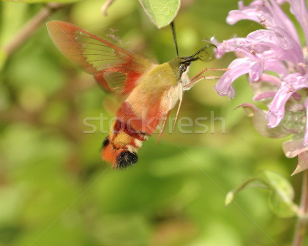 Hummingbird Moth Stock photo © brm1949