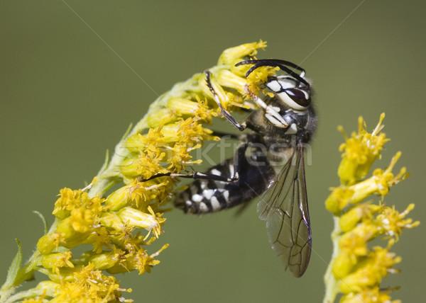 Bald-faced Hornet (Vespula maculata) Stock photo © brm1949