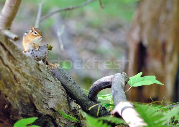 çizgili sincap hayvan sevimli memeli kabarık fauna Stok fotoğraf © brm1949