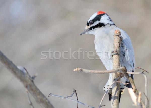Downy Woodpecker Stock photo © brm1949