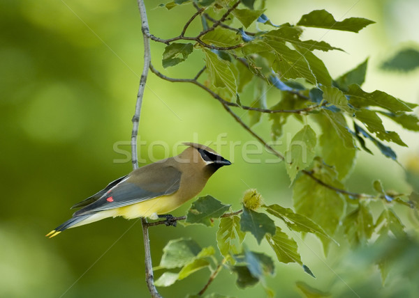 Cedar Waxwing (Bombycilla cedrorum) Stock photo © brm1949