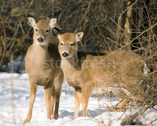 Whitetail Doe And Yearling Stock photo © brm1949