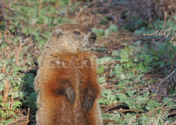 Ground Hog Stock photo © brm1949