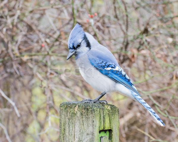 Azul postar natureza pássaro animal Foto stock © brm1949