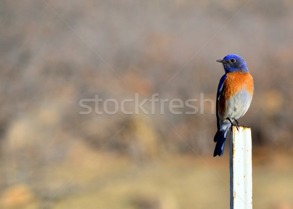 Eastern Bluebird Stock photo © brm1949