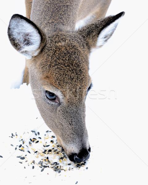 Cervo mangiare uccello sementi neve Foto d'archivio © brm1949
