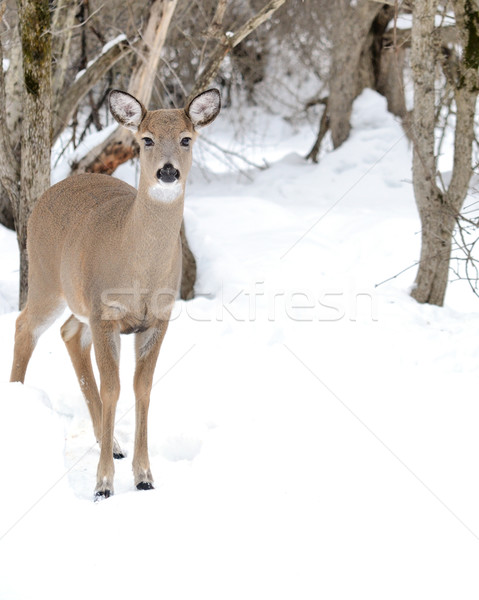 Stock photo: Whitetail Deer Doe