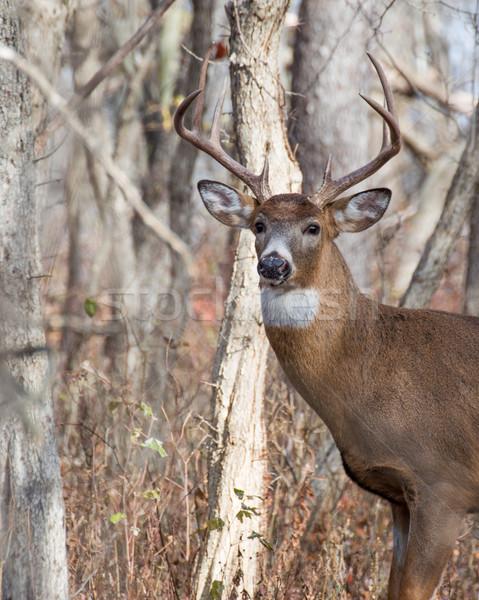ストックフォト: 鹿 · バック · 立って · 自然 · トロフィー · 森