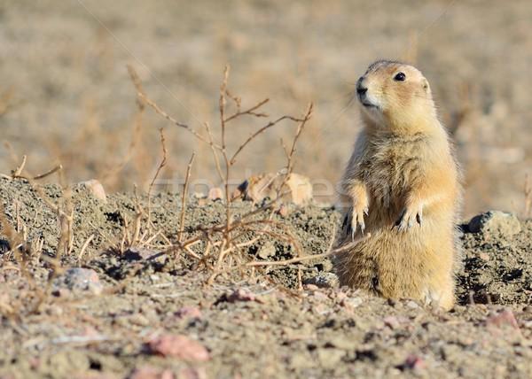 Black-Tailed Prairie Dog  Stock photo © brm1949