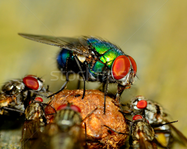 Green Bottle Fly Stock photo © brm1949
