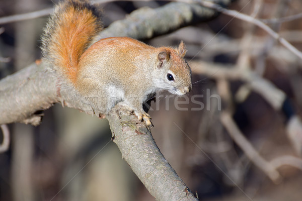 American Red Squirrel Stock photo © brm1949