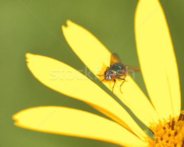 Fly Perched On A Flower Stock photo © brm1949