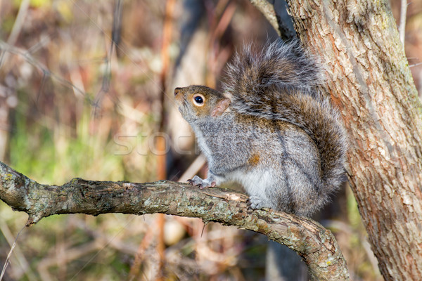 Stock photo: Gray Squirrel Perched