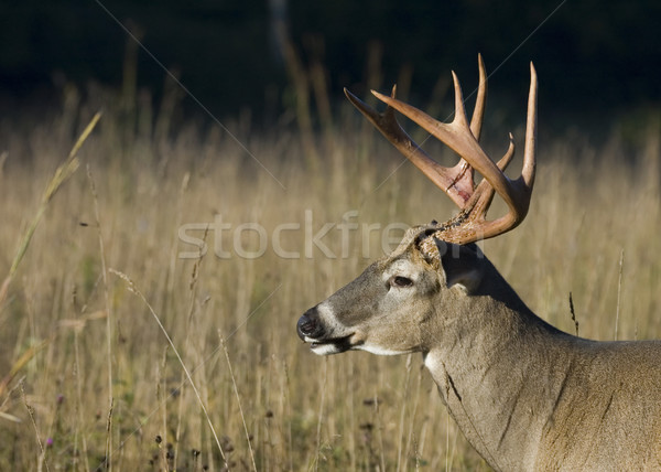 Buck Whitetail Deer (Odocoileus virginianus) Stock photo © brm1949