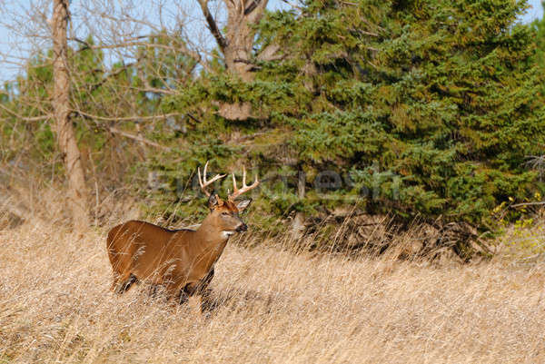 鹿 バック 立って フィールド 動物 トロフィー ストックフォト © brm1949