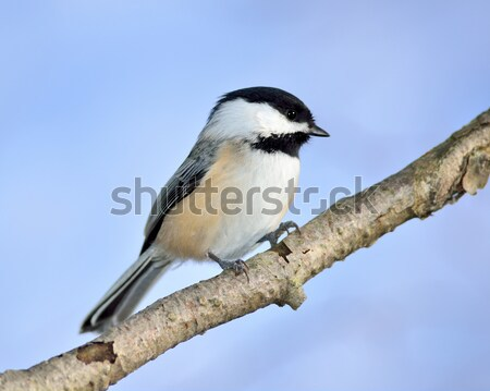 Black-capped Chickadee Stock photo © brm1949