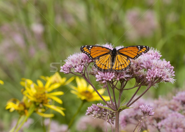 Monarch Butterfly Stock photo © brm1949