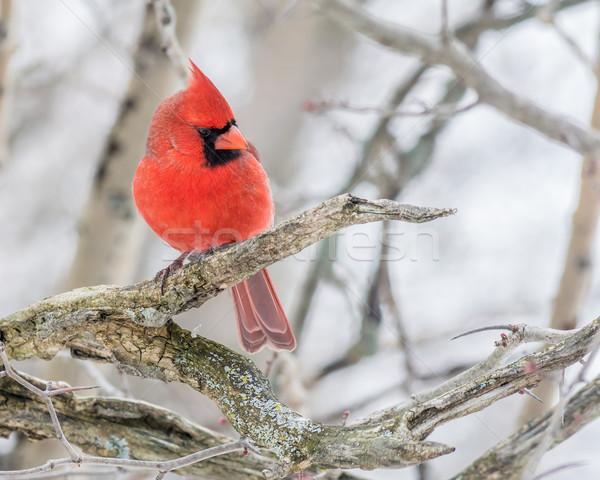 Male Cardinal  Stock photo © brm1949