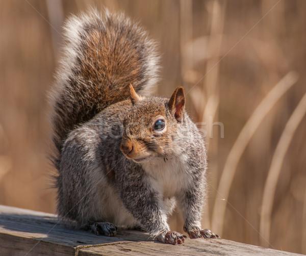 Szary wiewiórki szary drewna ogrodzenia lasu Zdjęcia stock © brm1949