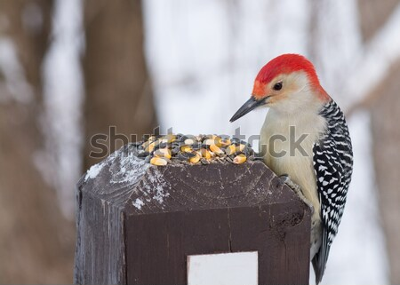 Red-bellied Woodpecker Stock photo © brm1949