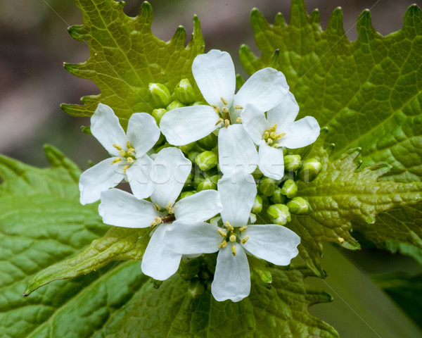 Garlic Mustard Weed Flower Stock photo © brm1949