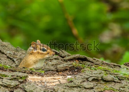 Chipmunk on A Tree Stump Stock photo © brm1949