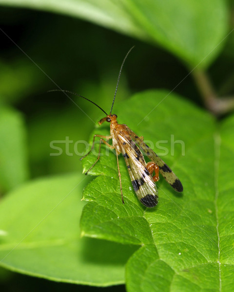Scorpion Fly Stock photo © brm1949