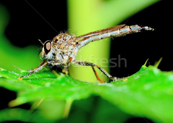 Soyguncu uçmak bitki yaprak doğa hayvan Stok fotoğraf © brm1949