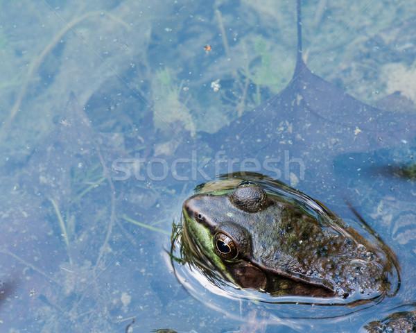 ül mocsár víz béka tavacska Stock fotó © brm1949