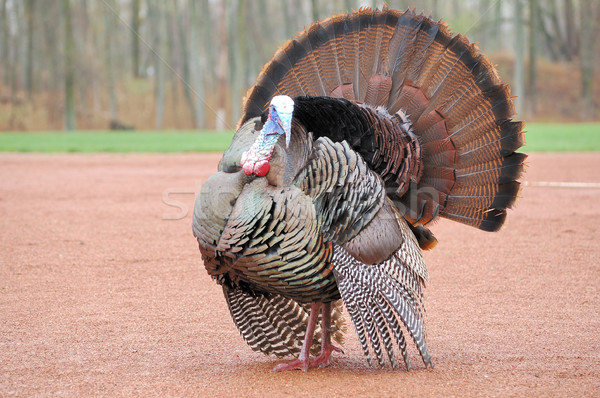 Wild Turkey Stock photo © brm1949