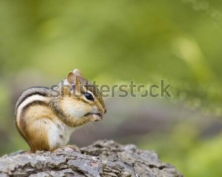 çizgili sincap oturma çakıl yeme yer fıstığı hayvan Stok fotoğraf © brm1949