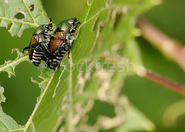 Japanese Beetle - Popillia japonica Stock photo © brm1949