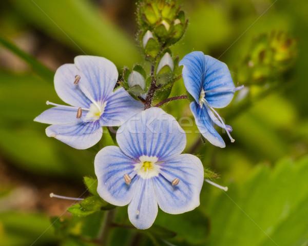 Pici kék vadvirágok szár korai tavasz Stock fotó © brm1949