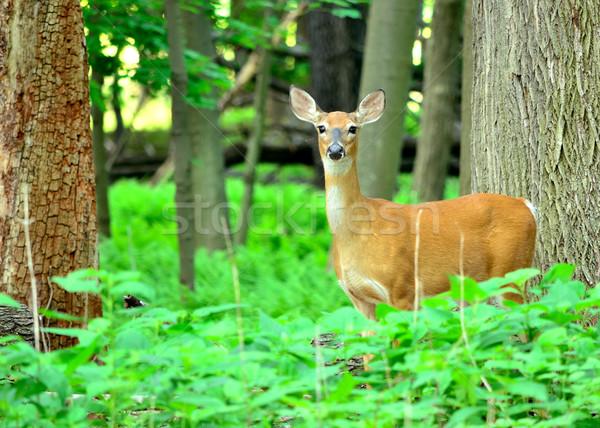 Stock photo: Whitetail Deer Doe