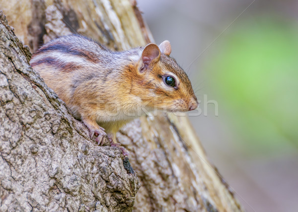 észak-amerikai mókus fa állat közelkép vadvilág kicsi Stock fotó © brm1949