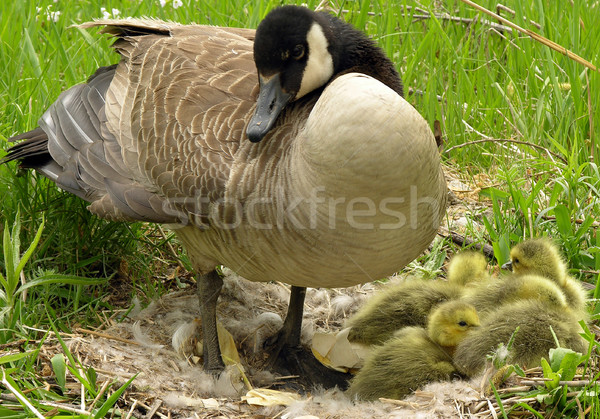 Canada Goose (Branta canadensis) Stock photo © brm1949