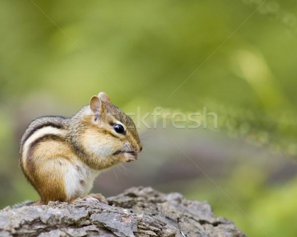 Chipmunk alimentação noz natureza mata Foto stock © brm1949